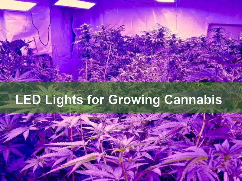 ED Lights for Growing Cannabis